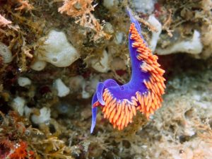 Spanish Shawl Nudibranch off of Santa Cruz Island July 2017